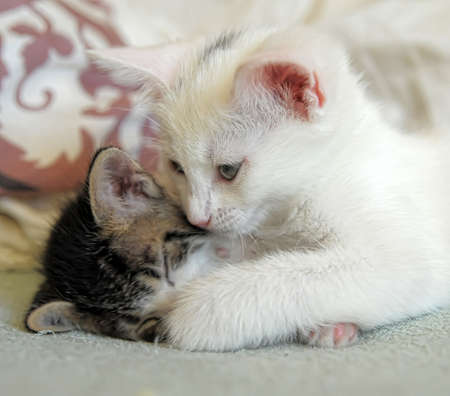 catfight: two kittens playing