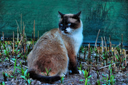 paying attention: Portrait of a Thai cat