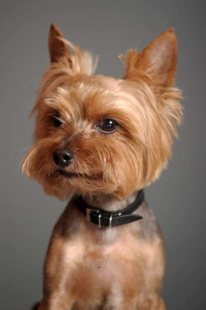 yorkshire terrier Stock Photo - 9582271