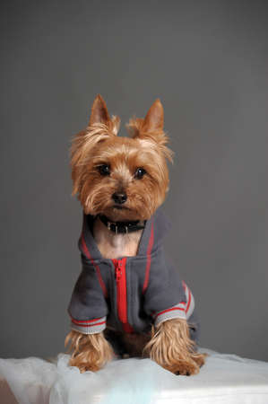 yorkshire terrier in the suit photo