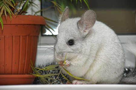 chinchilla: white chinchilla
