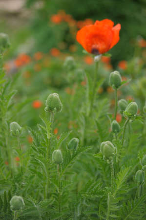 red poppy in the garden photo