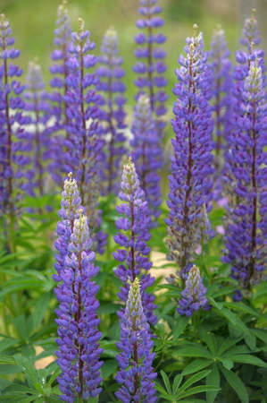 lupins: Purple lupins flowering