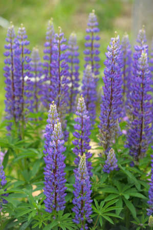 Purple lupins flowering Stock Photo - 9713208