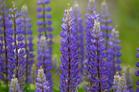 Purple lupins flowering around a farmer's fence. Stock Photo - 9713211