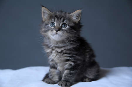 maine cat: lovely fluffy kitten Stock Photo