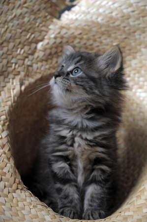 lovely fluffy kitten photo