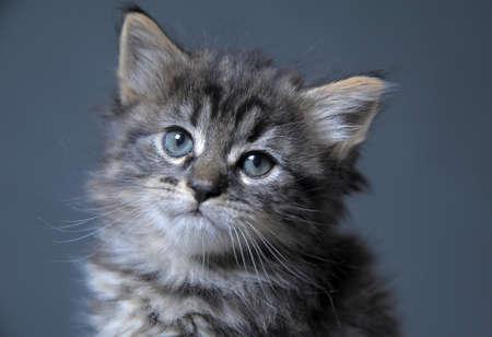 maine cat: hermoso gatito esponjoso