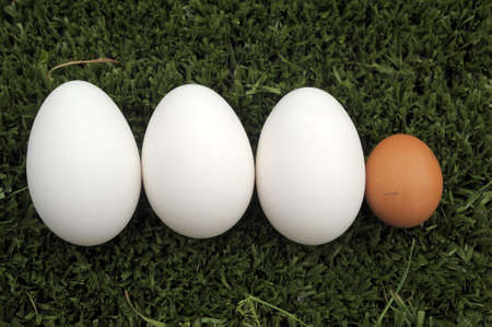 chicken and goose eggs photo