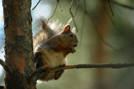 crack willow: Small squirrel on a tree Stock Photo