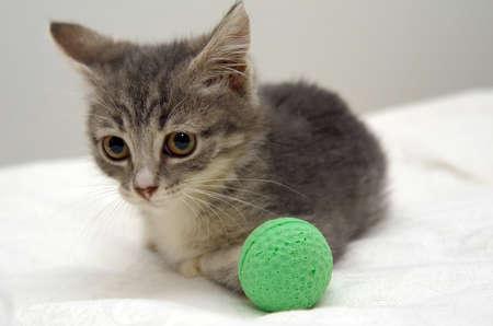 gray tabby: gray tabby kitten Stock Photo