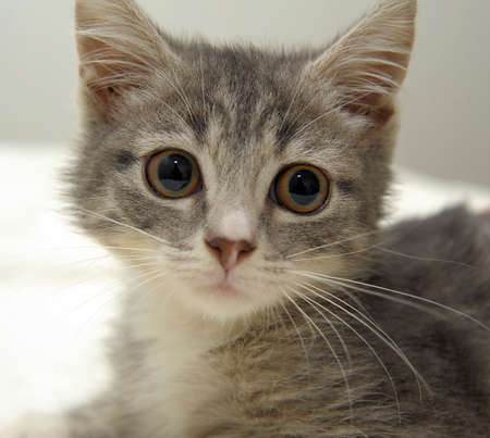 観察: 灰色のぶち子猫 写真素材