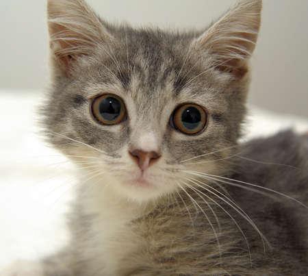observation: gray tabby kitten Stock Photo