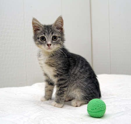 gray cat: gray tabby kitten Stock Photo