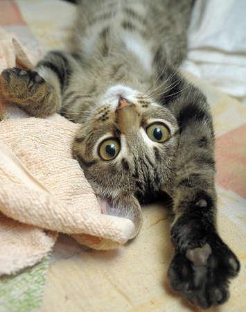 серого полосатого котенка