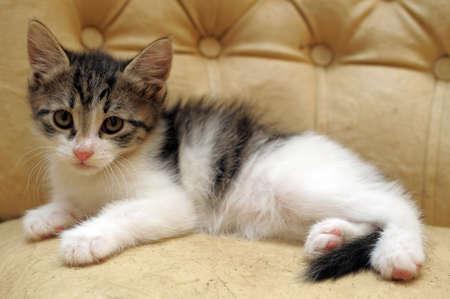 cat grooming: gray and white kitten