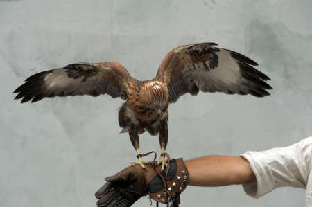 falconry: hawk