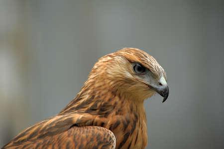 abu dhabi: hawk