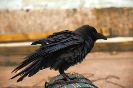 까마귀: 검은 까마귀 스톡 사진