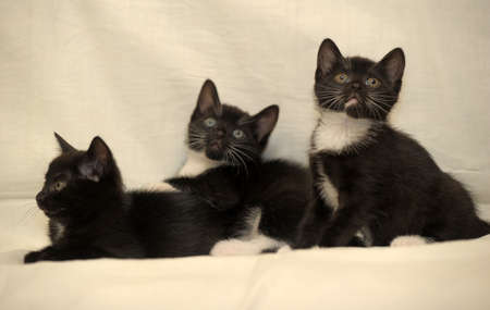 coons: three black and white kitten