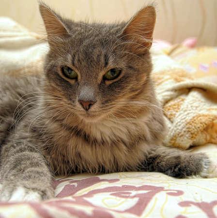 Beautiful gray cat Stock Photo - 13306383