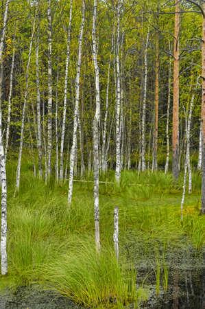 swamp birch photo