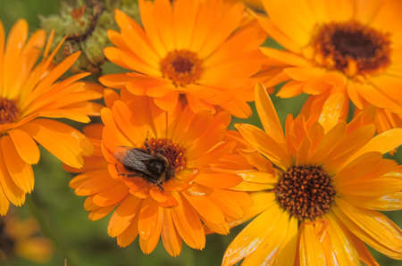 Marigolds in the garden  photo