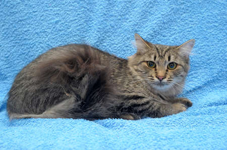 gray striped cat on a blue background photo