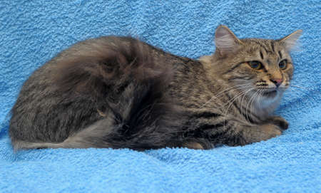 gray striped cat on a blue background Stock Photo - 10565724