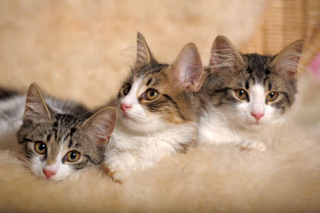 purebred cat: three kittens lying beside