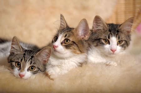 gato gris: tres gatitos tumbado junto a Foto de archivo