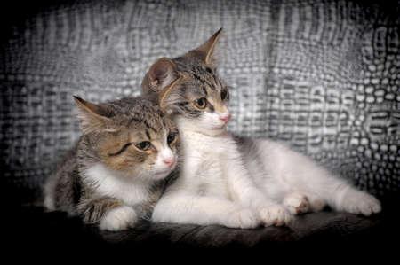 meowing: two kittens lying beside