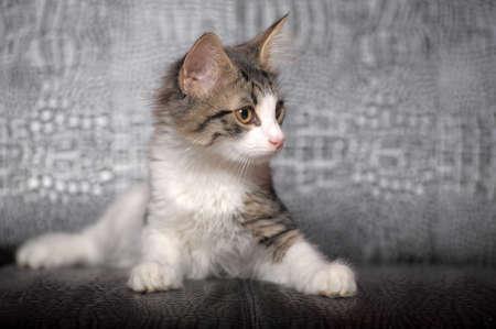whiskar: gray and white kitten
