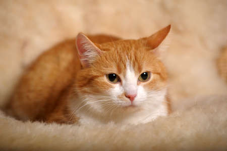 red & white cat photo