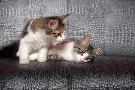 hunter playful: two kittens