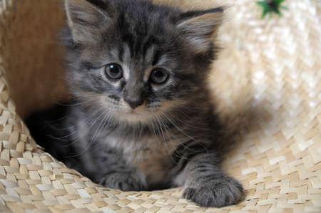 maine cat: lovely fluffy kitten Stock Photo
