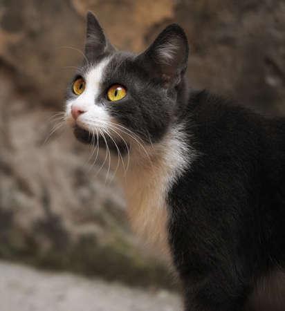hunter playful: grayish white cat with big green eyes