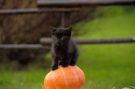black cat sitting on pumpkin photo