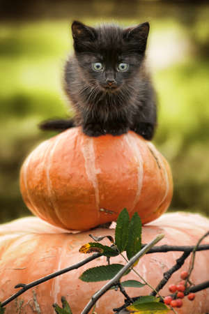 gato negro sentado en calabaza