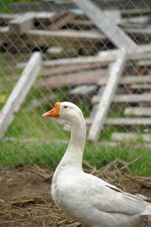 palmiped: white goose goes Stock Photo