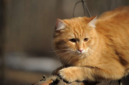 beautiful fluffy ginger cat in the park photo