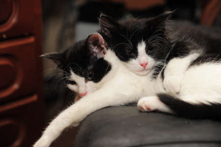 two black and white cat lying Stock Photo - 11573931