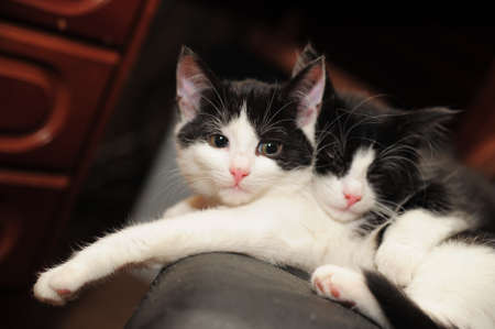 two black and white cat lying photo