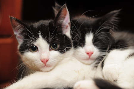 cats playing: two black and white cat lying Stock Photo