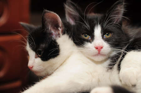two black and white cat lying Stock Photo - 11573932