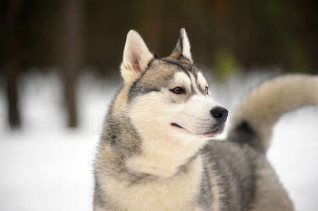 Husky dog photo