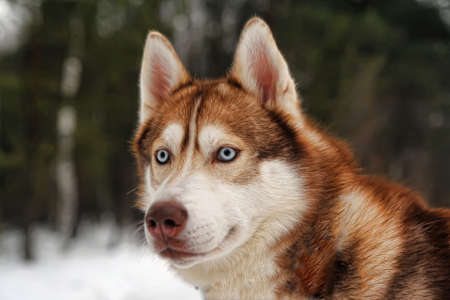 brown and black dog face: red husky