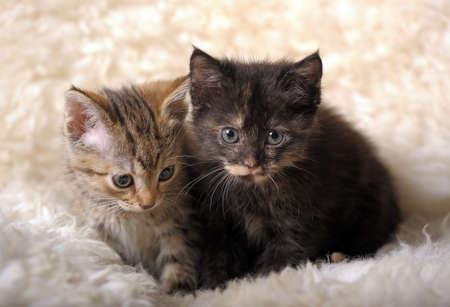 Portrait of two British fold and straight breed kittens photo
