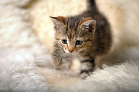 Small striped kitten photo