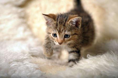 Small striped kitten photo